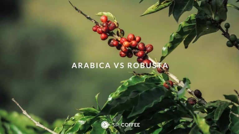 Arabica VS Robusta: Similarities and Differences