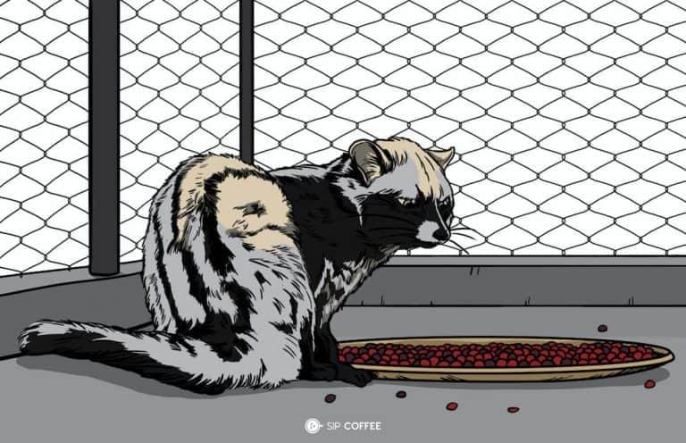 Cat Poop Coffee (Kopi Luwak) – What Is It & Why's It Popular?