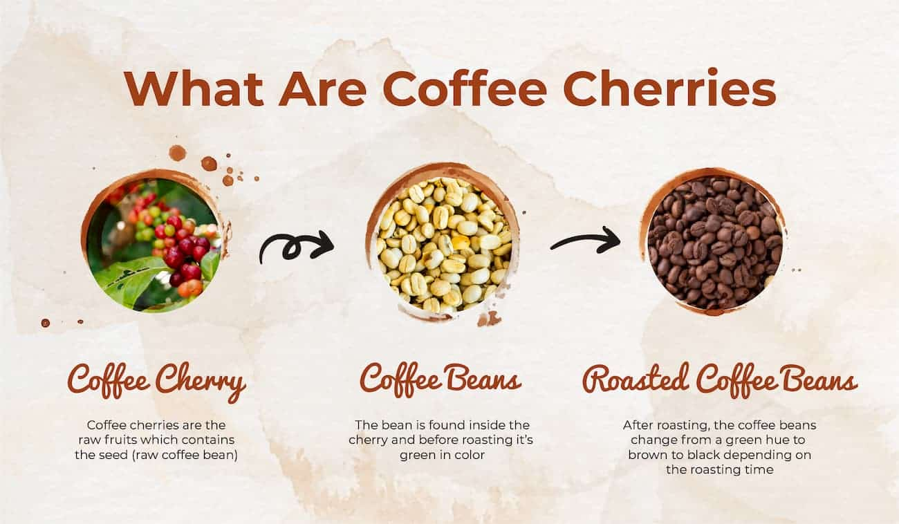 what are coffee cherries infographic