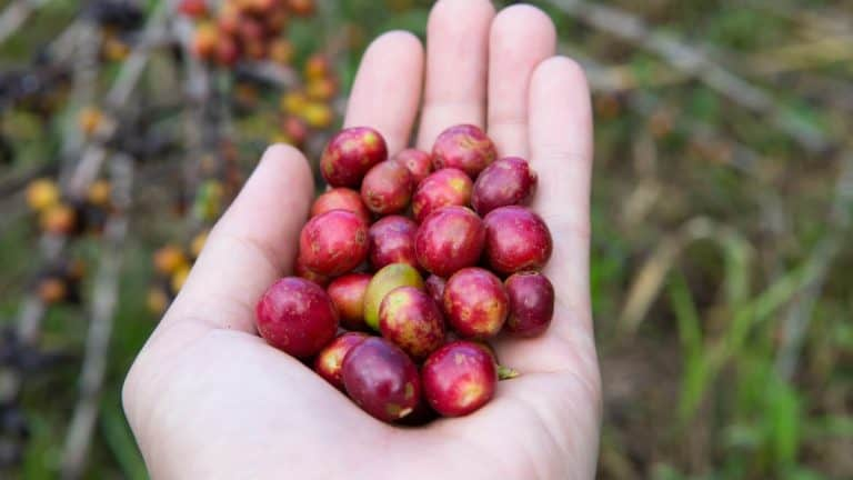 What Is The Coffee Cherry & Can You Eat It?