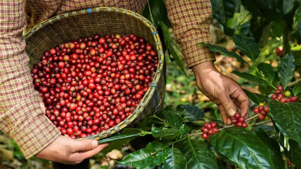 robusta cherries