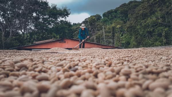 Colombian coffee beans drying