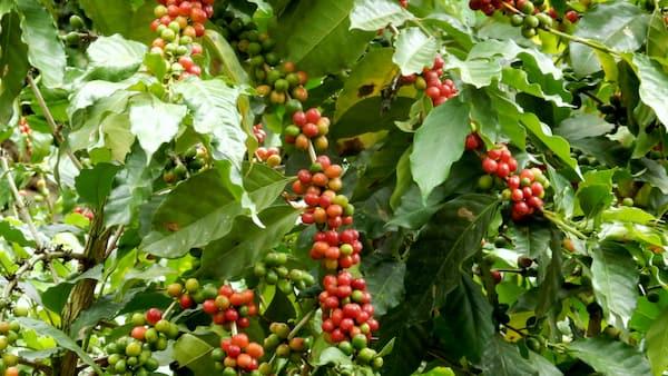 coffeea robusta
