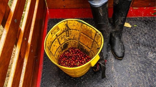 red coffee bean cherries