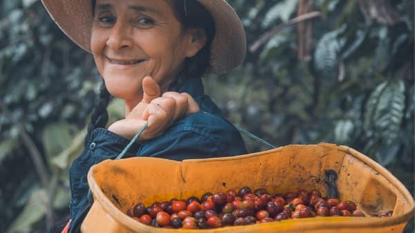 woman picking coffee cherry